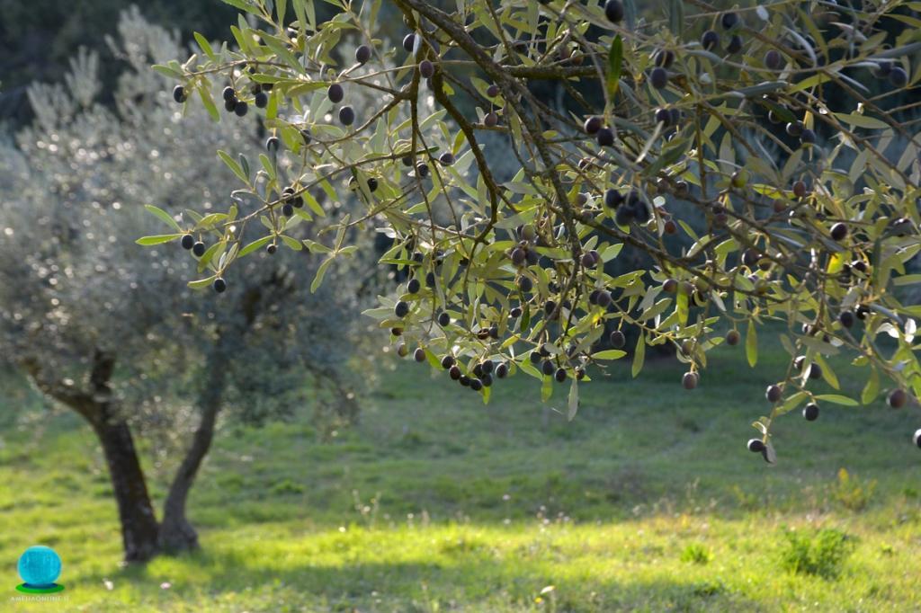 Olio Extra Vergine Colli Amerini - Prodotto tipico di Amelia - Foto di Masisoft - Location: L'Arte del Verde