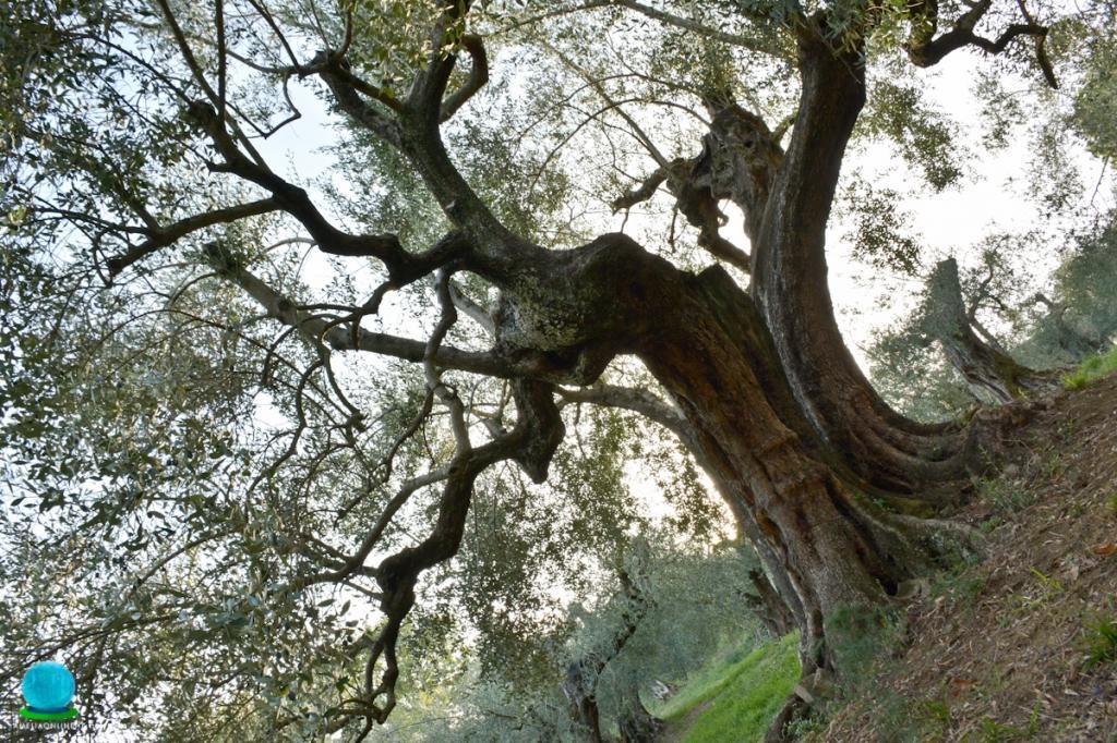 Pianta secolare qualità Rajo  - Foto di Tommaso Pagliaricci Masisoft - Location: L'Arte del Verde